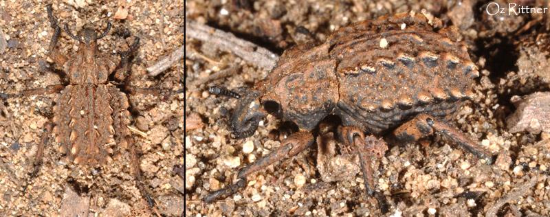 Brachycerus argillaceus