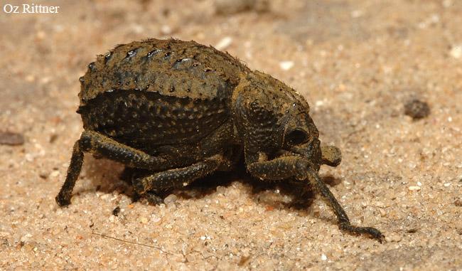 Brachycerus groneri