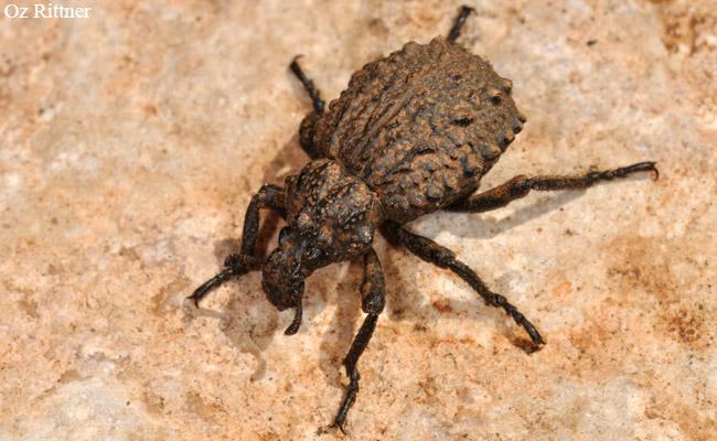 Brachycerus hermoniacus