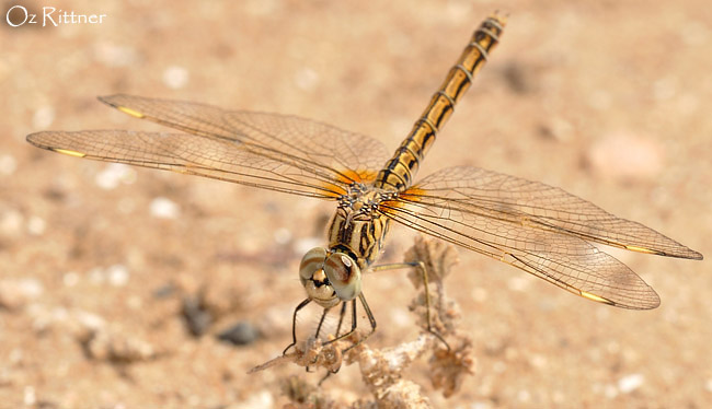 Brachythemis impartita female