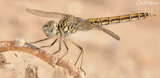 Brachythemis impartita female2
