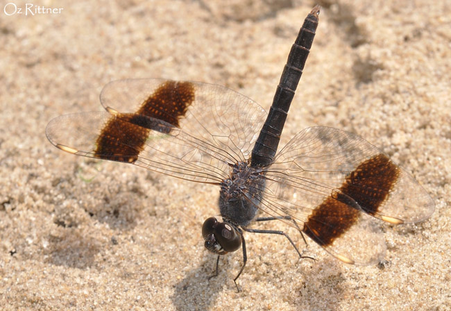 Brachythemis impartita male