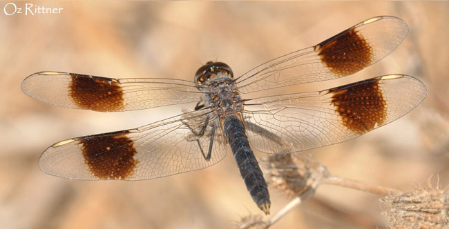 Brachythemis impartita male1