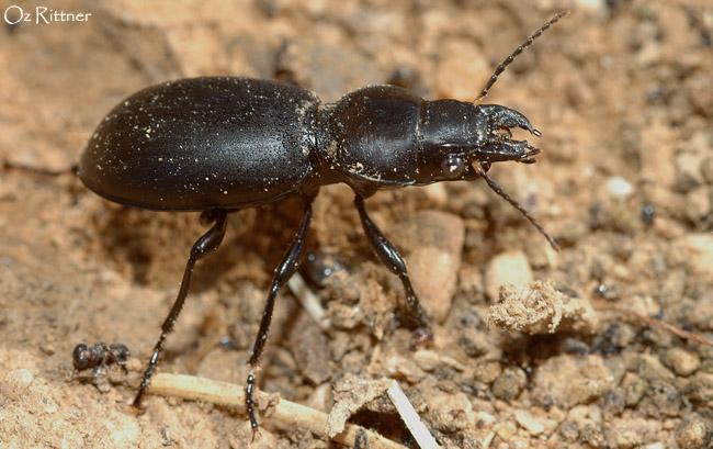 Broscus laevigatus