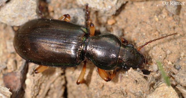Broscus nobilis