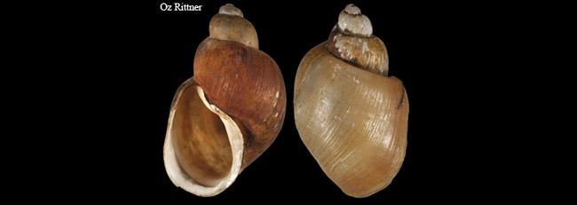Bulinus truncatus