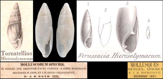 Calaxis hierosolymarum