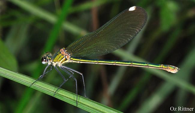 Calopteryx syriaca Female