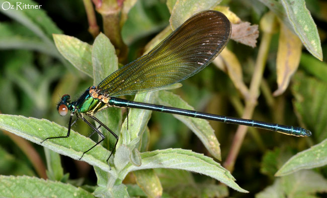Calopteryx syriaca young male