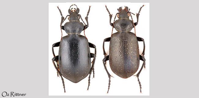 Calosoma maderae
