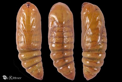 Cardepia sociabilis deserticola Pupa
