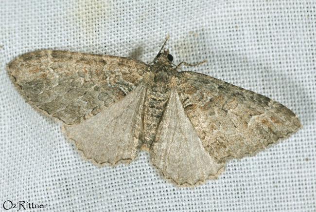 Catarhoe hortulanaria