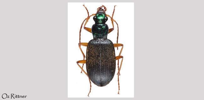 Chlaenius canariensis seminitidus