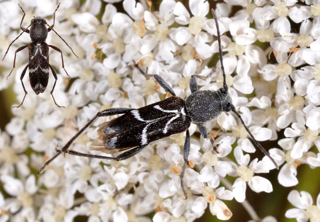 Chlorophorus sartor