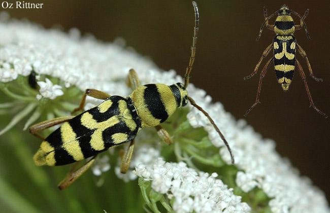 Chlorophorus varius damascenes