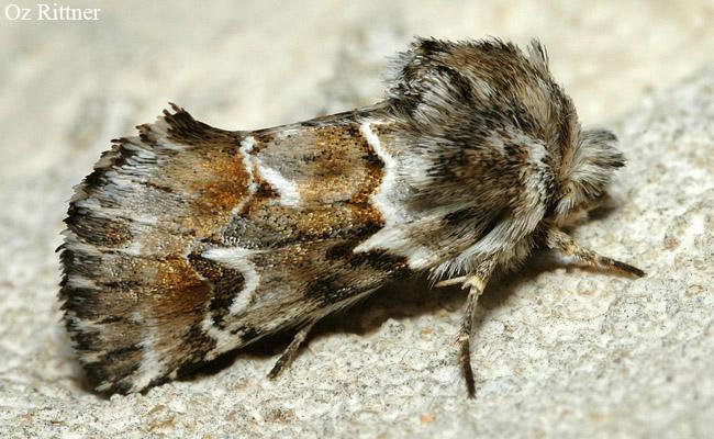 Cleonymia chabordis 1