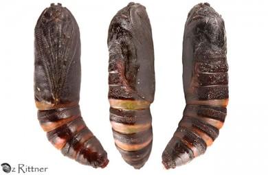 Coenina dentataria Pupa