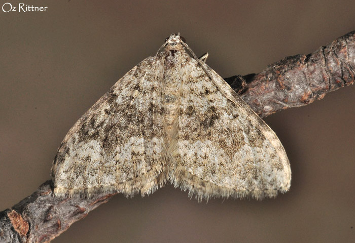 Coenotephria ablutaria