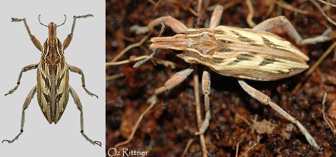 Conicleonus nigrosuturatus 1