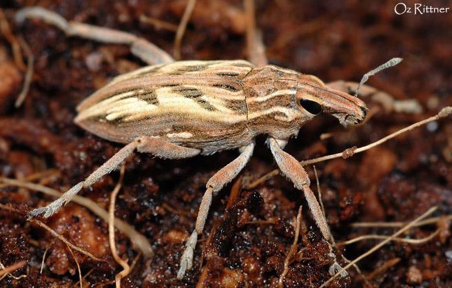 Conicleonus nigrosuturatus