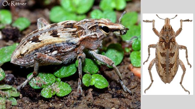 Coniocleonus excoriatus