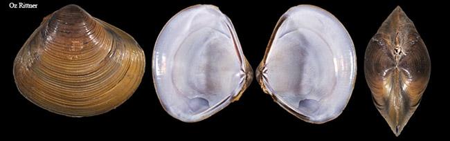 Corbicula consobrina