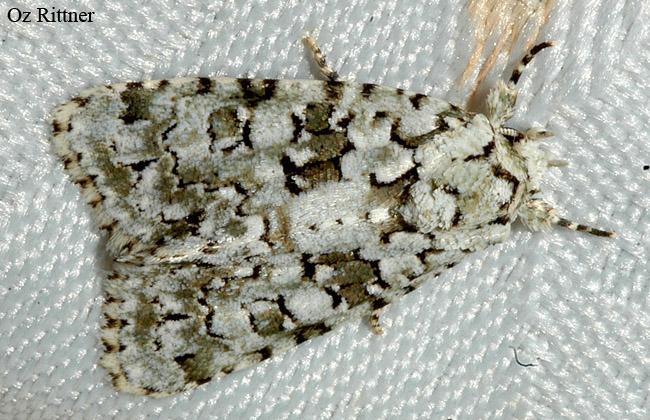 Cryphia amasina