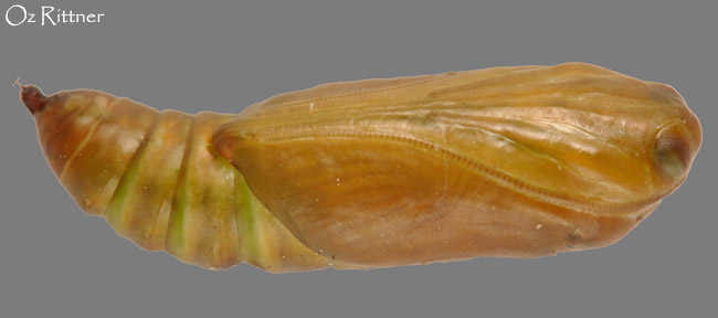 Ctenoplusia accentifera pupa