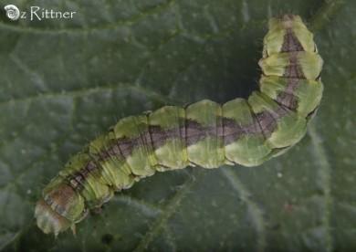 Cucullia calendulae Larva