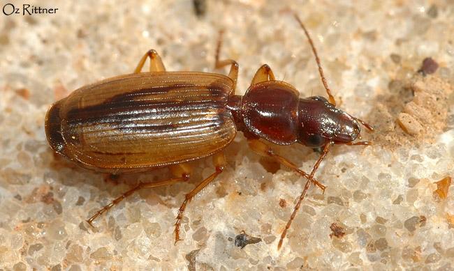 Cymindis setifeensis laevistriata