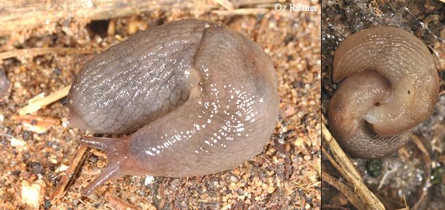 Deroceras berytensis