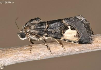Epharmottomena eremophila