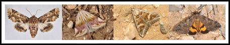 Erebidae