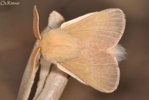 Eriogaster philippsi Carmel