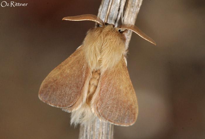 Eriogaster philippsi