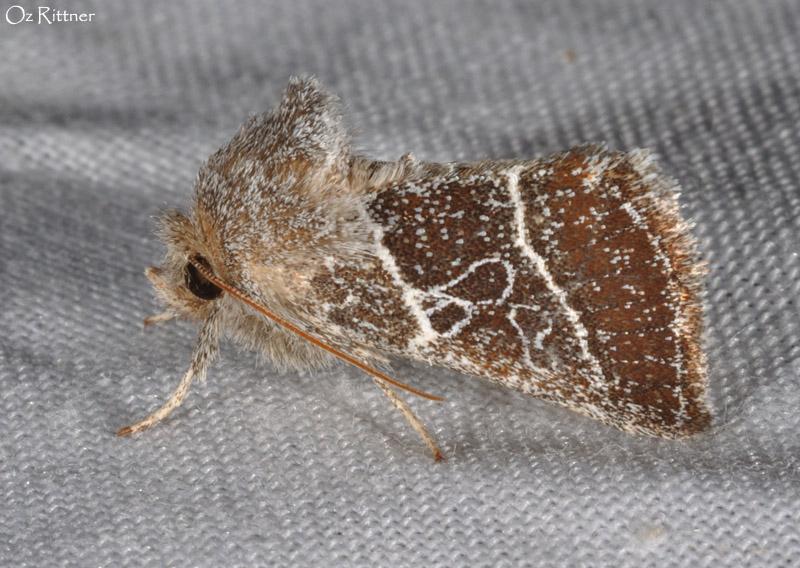 Euchalcia paulina 2