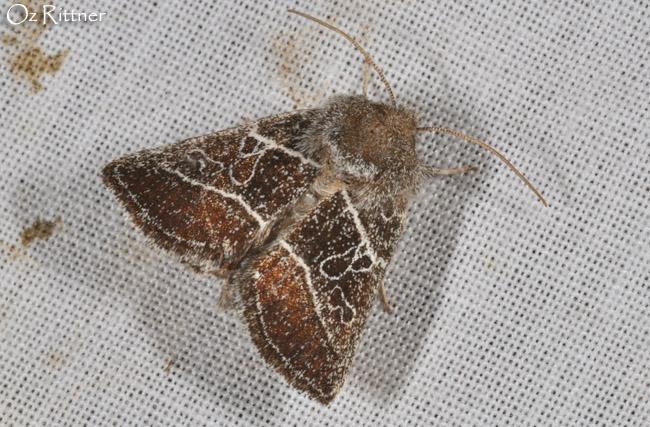 Euchalcia paulina