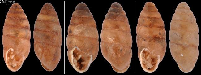 Euchondrus chondriformis
