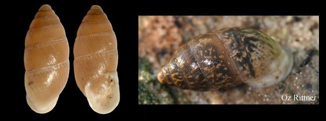 Euchondrus septemdentatus