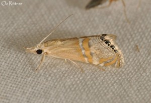 Euchromius bella