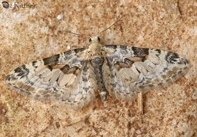 Eupithecia extremata