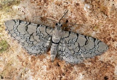 Eupithecia schiefereri