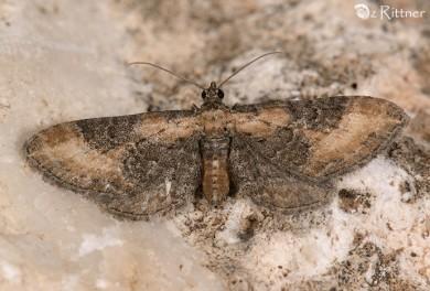 Eupithecia syriacata