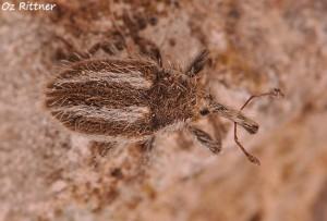 Eustenopus villosus 1