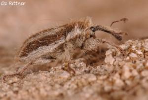 Eustenopus villosus