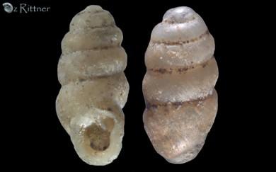 Gastrocopta procera