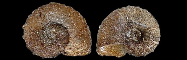 Gyraulus crista