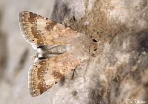 Heliothis nubigera 1