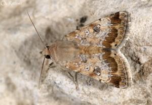 Heliothis nubigera 2