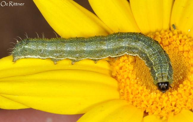 Heliothis peltigera larva